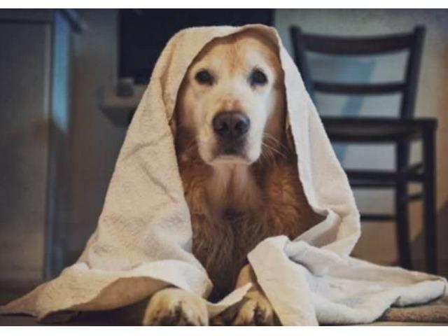 peluqueria canina para Golden Retriever - 3/4