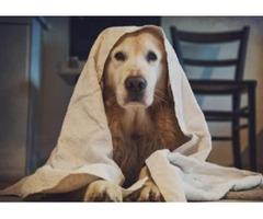 peluqueria canina para Golden Retriever