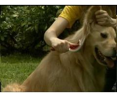 peluqueria canina para Golden Retriever - Imagen 4/4