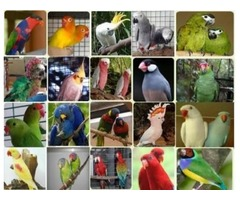 Amazonas, guacamayos, cacatúas, grises africanos y huevos fértiles