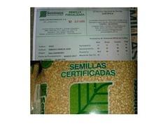 semilla de maiz blanco