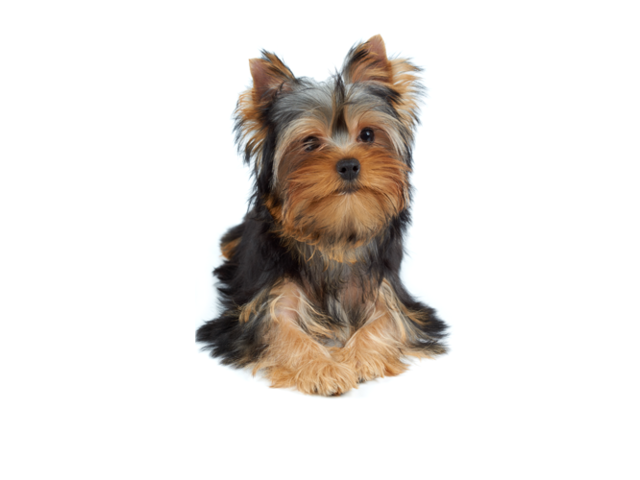 Vendo Hermosa Yorkshire-Terrier - 1/1