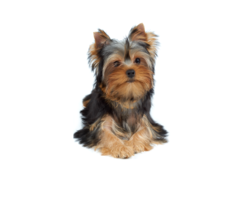 Vendo Hermosa Yorkshire-Terrier