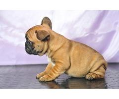 Bulldog Francés. Cachorros pura raza.