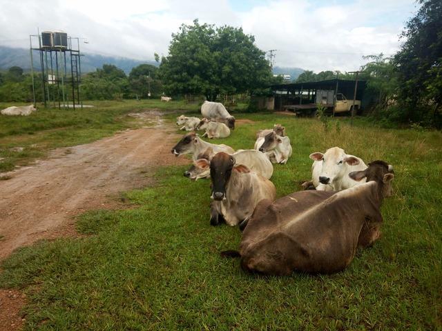 Venta de Pie de Cria Caroreño lote Completo 32 Animales - 1/2