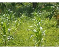 terreno con matas frutales en constrccion - Imagen 1/5