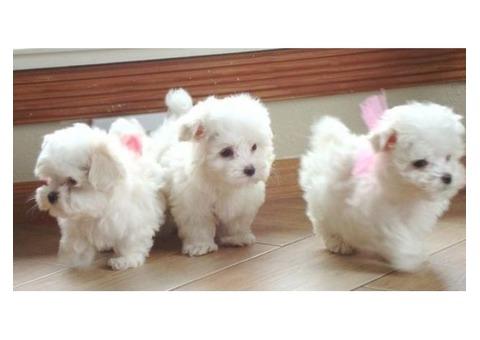 Lindo preciosa bichon maltes cachorros
